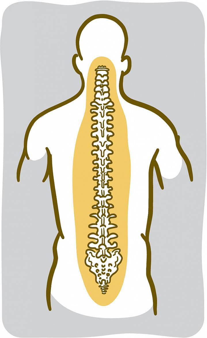 Illustration of the spinal bones.