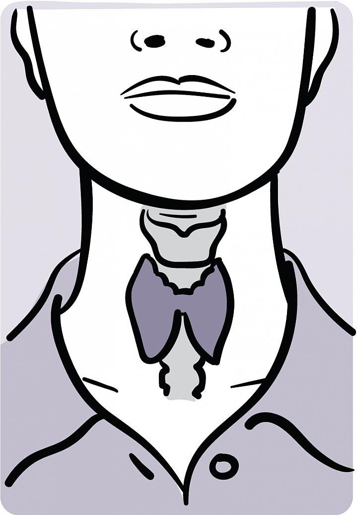 Illustration showing the location of the thyroid in the neck.